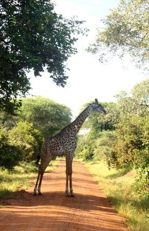 Giraffe on the road in Katavi National Park