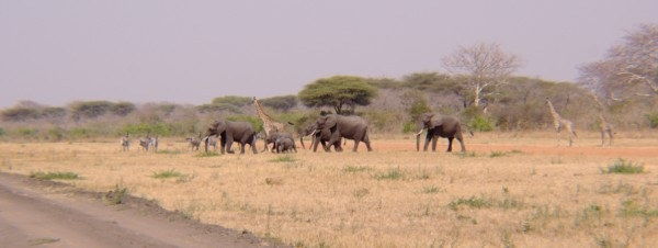 Elephants, giraffes and zebras crossing the airstrip