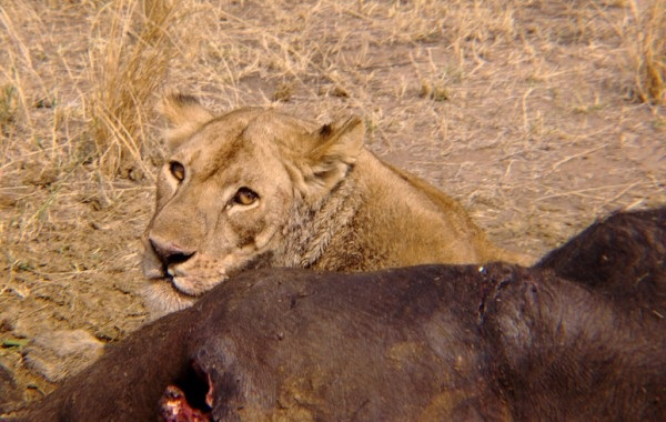 A lion next to his kill