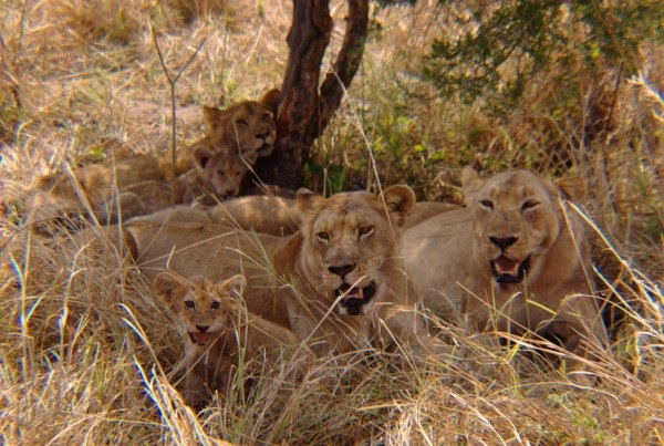 The whole lion family