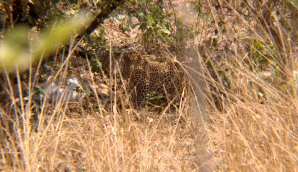 A leopard hiding under the tree, with his prey